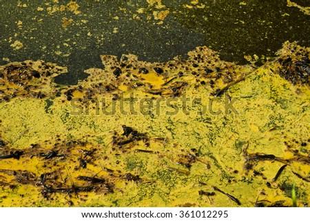 Closeup of algae in water in Thailand - stock photo