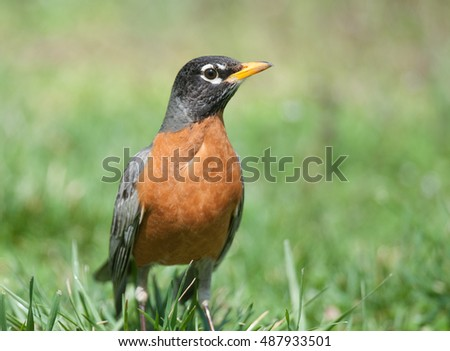Closeup of American robin, turdus migratorius, standing in green grass