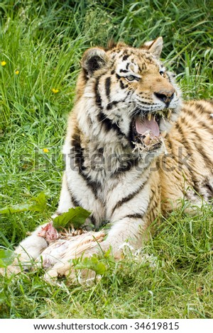 Closeup of Amur Tiger (Panthera tigris altaica)