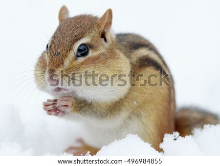 Closeup of an adorable chipmunk in the snow