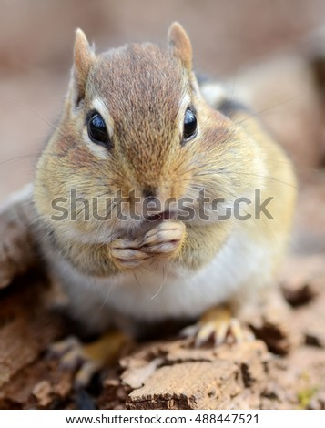 Closeup of an adorable chipmunk snacking