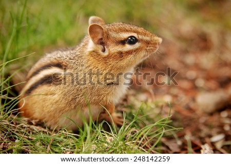 Closeup of an adorable little baby chipmunk sitting by the burrow - stock photo