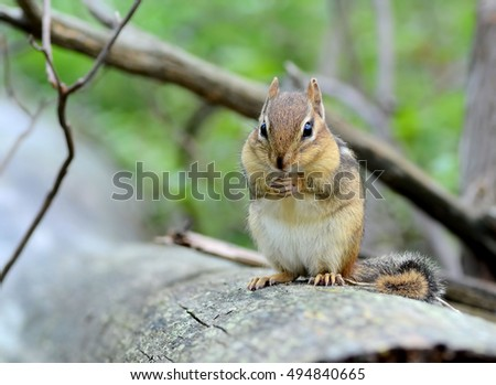 Closeup of an adorable young chipmunk sitting on a fallen tree