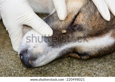 closeup of  an adult  tick  hanging by  dog's eye - stock photo