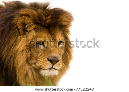 Closeup of an african lion - isolated on white background - stock photo