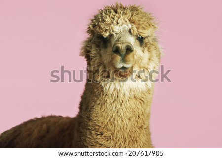 Closeup of an Alpaca against pink background - stock photo