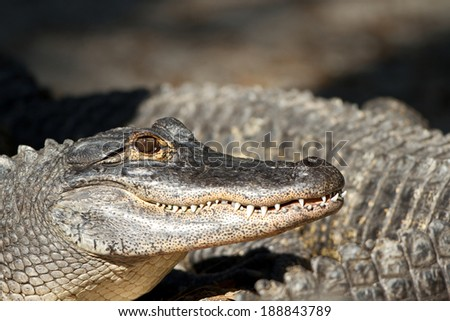 Closeup of an American Alligator lounging with others on a riverbank - stock photo