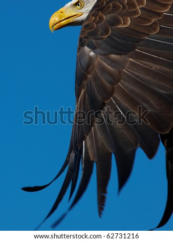Closeup of an American Bald Eagle flying against a blue sky - stock photo