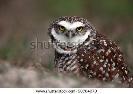 Closeup of an angry Burrowing Owl defending it's burrow. - stock photo