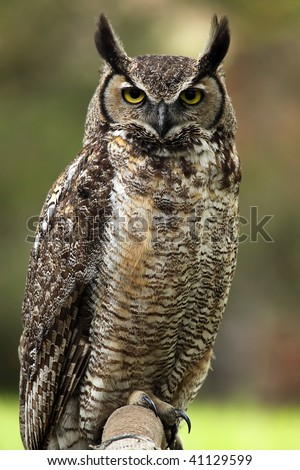 Closeup of an angry looking Great Horned Owl - stock photo