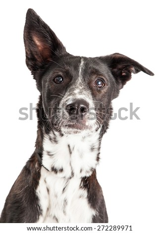 Closeup of an Australian Shepherd Mixed Breed Dog.  Ears are at different angles.  - stock photo