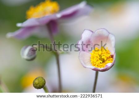closeup of an autumnal anemone - stock photo