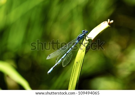 Closeup of an Azure Damselfly resting on a twig
