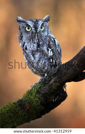 Closeup of an Eastern Screech Owl. - stock photo