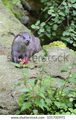 closeup of an european fish otter