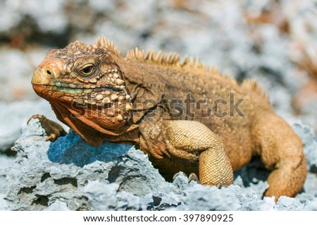closeup of an iguana on the reefs of the Cuban coast reserve