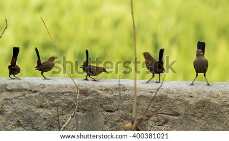 Closeup of an Indian Robin Birds perched on a wall with smooth green out of focus background - stock photo