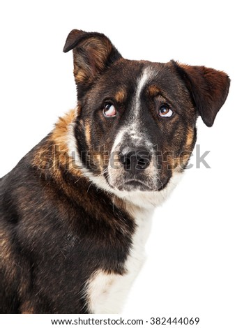 Closeup of an irritated dog lifting one ear and rolling his eyes up