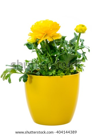 Closeup of an isolated potted yellow Ranunculus flower - stock photo