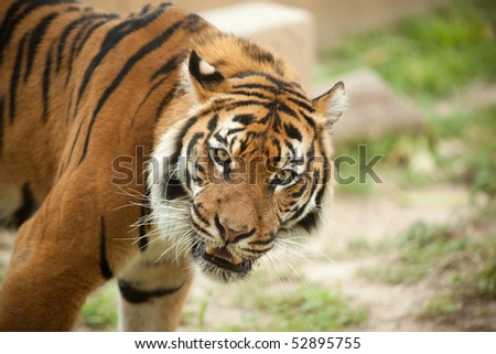 Closeup of angry tiger