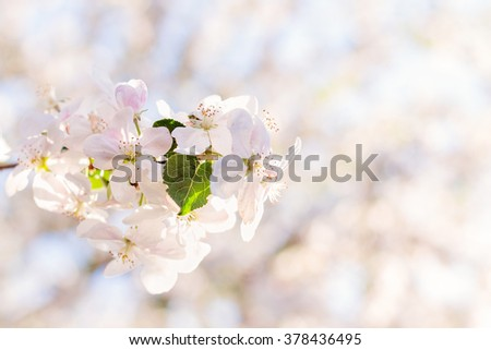 Closeup of apple tree blossom branch on natural blurred background. Shallow focus. Pastel colored