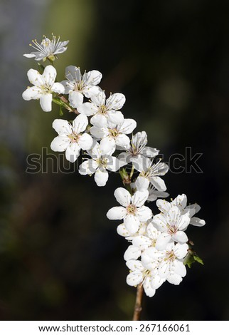 Closeup of apple tree blossom with out of focus background - stock photo