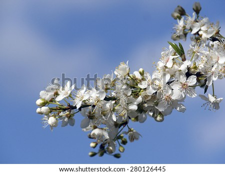 Closeup of apple tree blossom with out of focus sky - stock photo