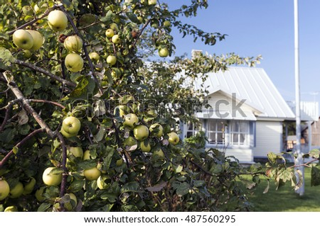 Closeup of apple tree branches with yellow apples, a small white wooden house on background.
