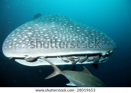 Closeup of approaching whale shark - stock photo
