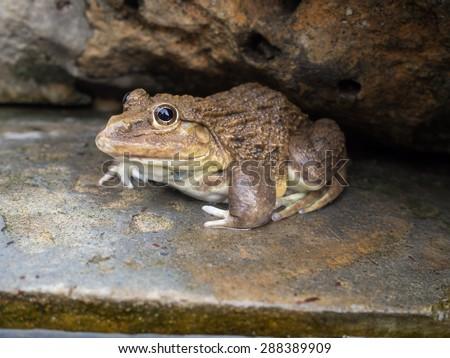 Asian river toads habbitat