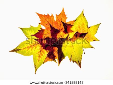Closeup of Autumn Leafs - Isolated on White - stock photo