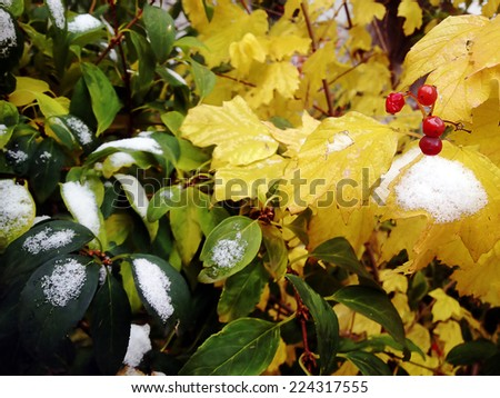 Closeup of autumn leaves and berries with snow. - stock photo