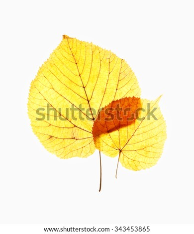 Closeup of Autumn Leaves - Isolated on White - stock photo