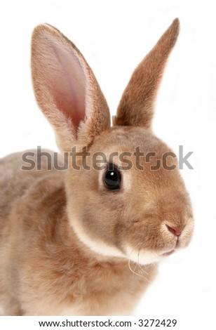 Closeup of baby bunny on white. - stock photo