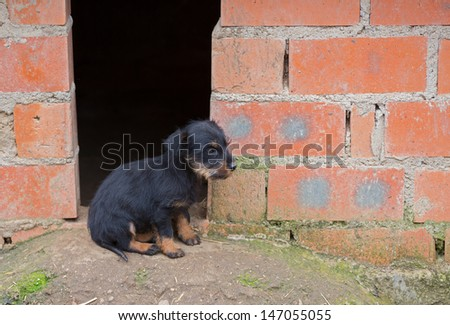 Closeup of baby Dachshund dog at home's door
