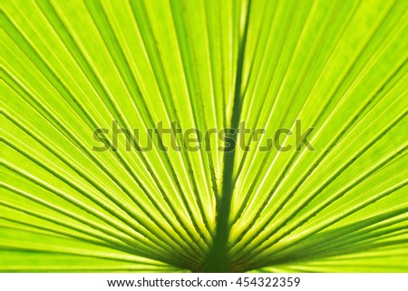 Closeup of backlit palm leaf. Rays of veins converging at the bottom.