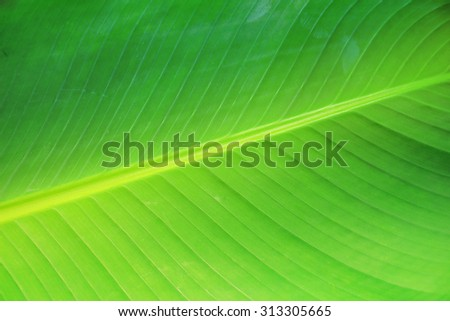 Closeup of banana leaf texture abstract background - stock photo