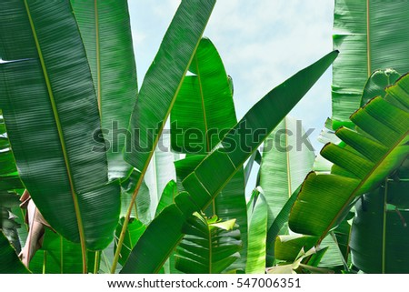 closeup of banana palm leaves in Hawaii big island of Oahu