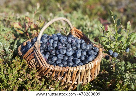 Closeup of basket with ripe bilberries on beautiful late summer day amongst vegetation