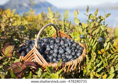 Closeup of basket with ripe bilberries on beautiful late summer day in Scandinavia