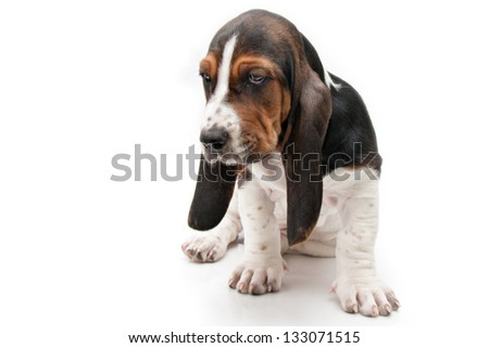 closeup of basset hound puppy with curious facial expression on white background - stock photo