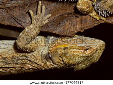Closeup of bearded dragon lizard hanging upside down. - stock photo