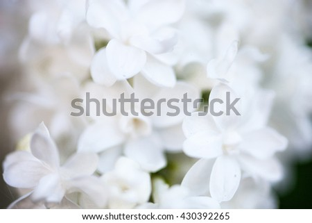 Closeup of beautiful and delicate spring lilac flowers