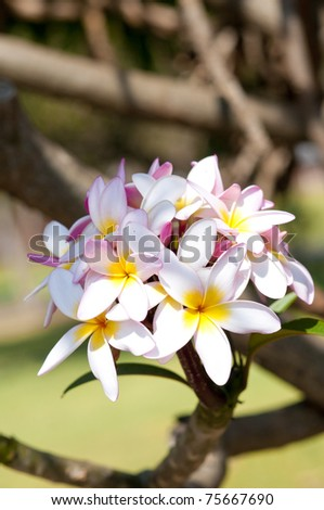 Closeup of beautiful blossomed African Frangipani flowers - stock photo