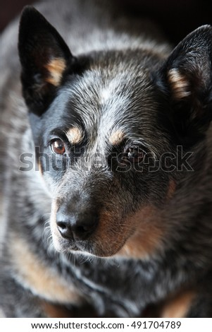 Closeup of beautiful Blue Heeler dog also know as Australian Cattle Dog