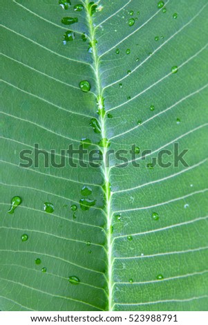 Closeup of beautiful bright green frangipani leaf