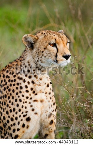 Closeup of beautiful cheetah in Southern Serengeti, Tanzania