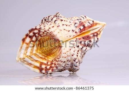closeup of beautiful conch shells - stock photo
