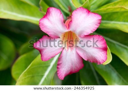 Closeup of beautiful flower of blossoming adenium obesum - stock photo