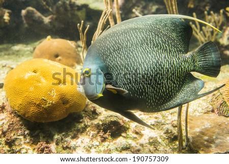 Closeup of beautiful French Angelfish in Caribbean sea - stock photo